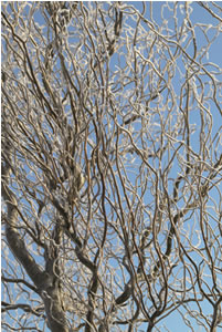Salix, actuele plant januari