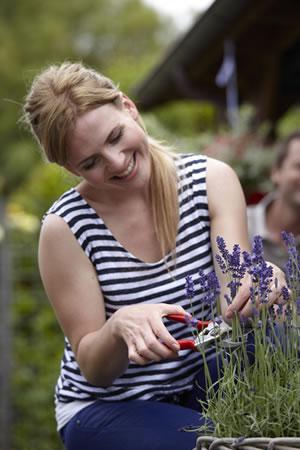 tuinplant_vd_maand_april_lavendel_snoeien
